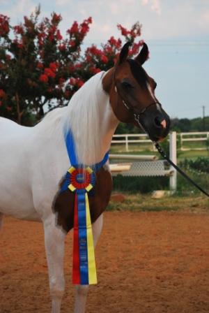 Pinto World Champion AGAIN!.JPG