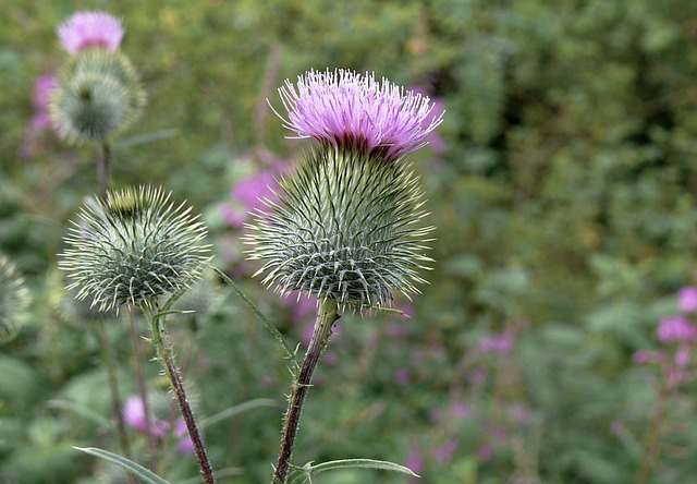 milk thistle for skin health