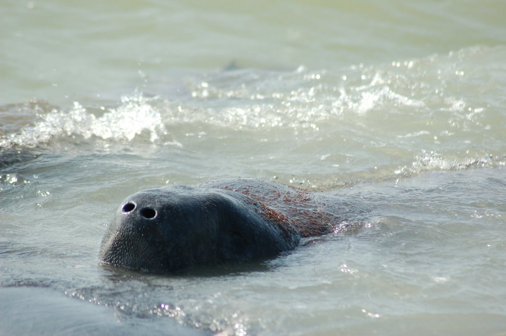 Manatees frequent the waters around Sanibel and Captiva during the warmer months of the year.