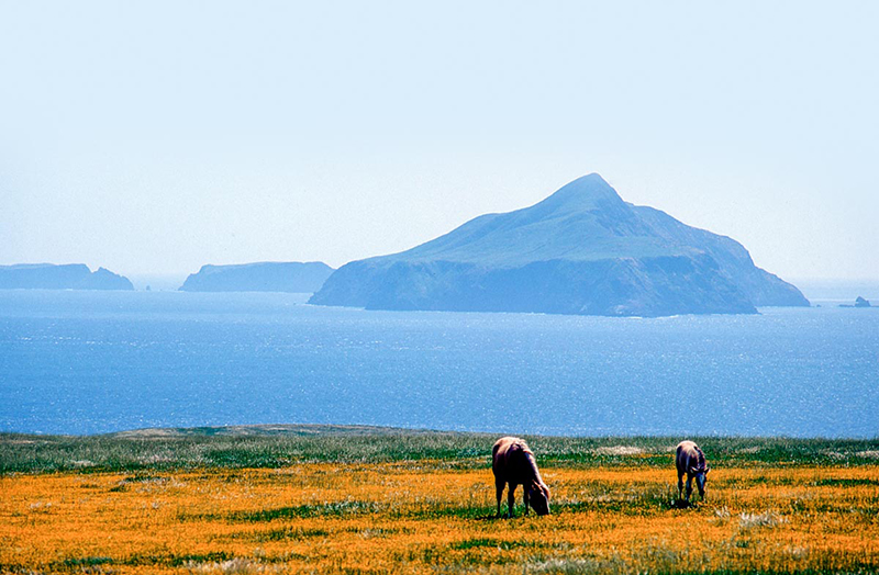 dewey colt and mare, sta cruz island , 6x9, $450.jpg