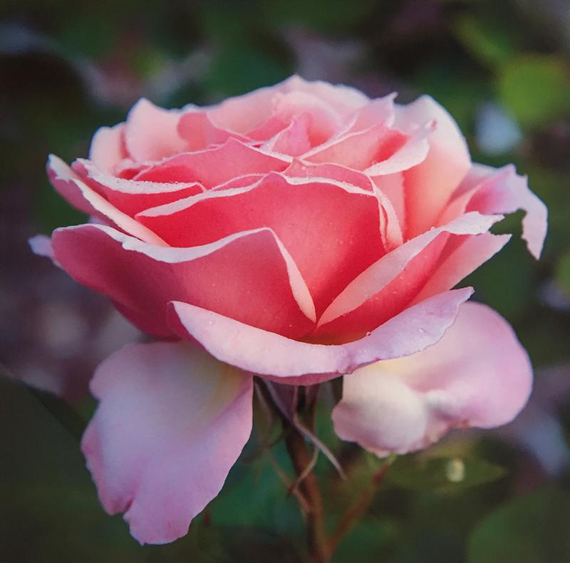 dewey unframed-rose.jpg