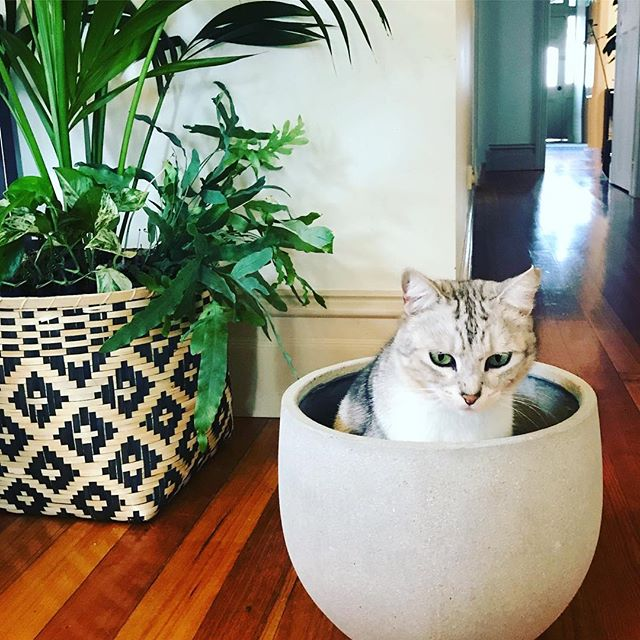 I was trying to work until my little helper joined me!! My cats will make themselves quite at home in any small enclosed area! Does anyone know why? #plantcat