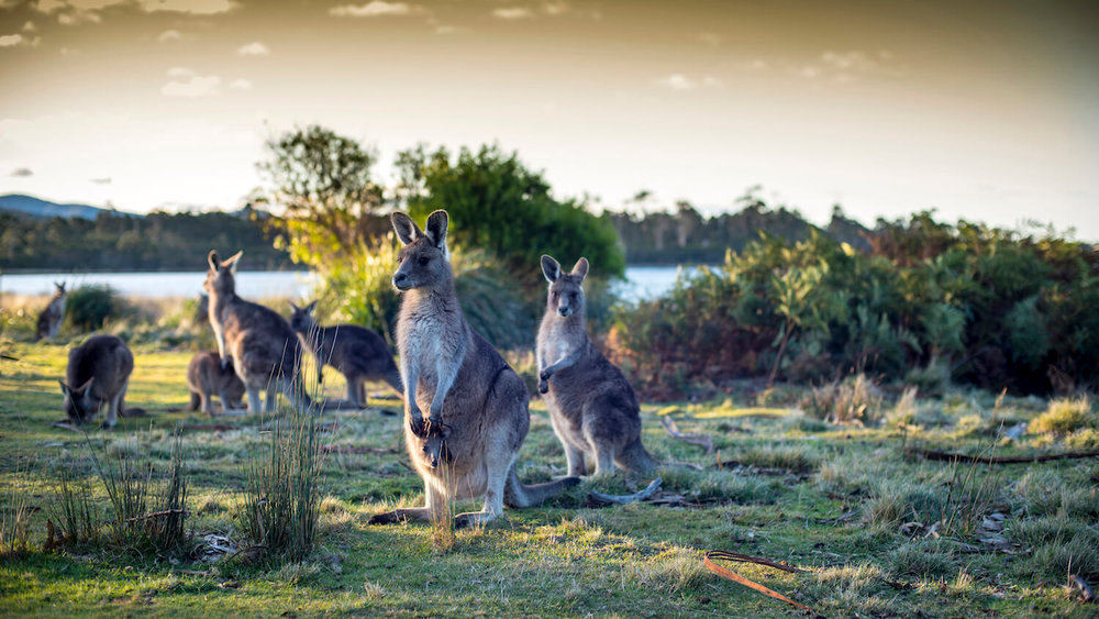 Apartments on Fraser Bicheno- Kangaroos on east coast of Tasmania