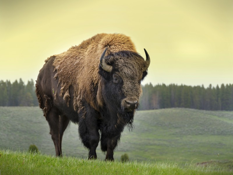 bison_sergioboccardo_shutterstock3.jpg