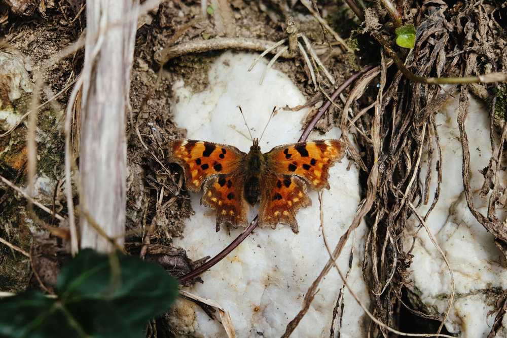 A comma butterfly spotted at our 'secret' campsite