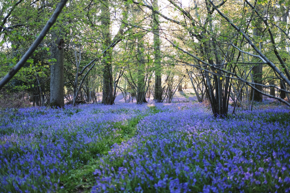 Bluebell explosion to greet us on our return home