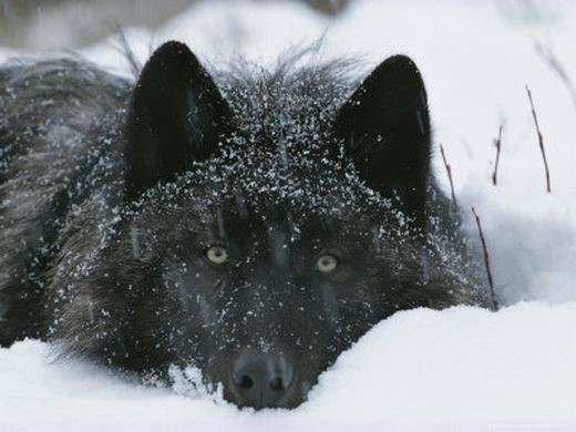 darkwolf.jpg
