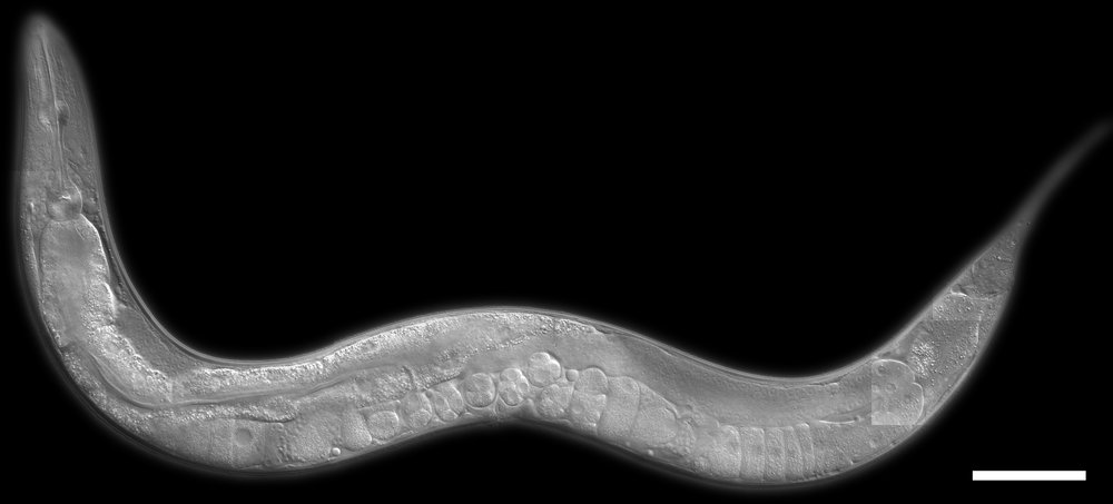 c_elegans.jpg