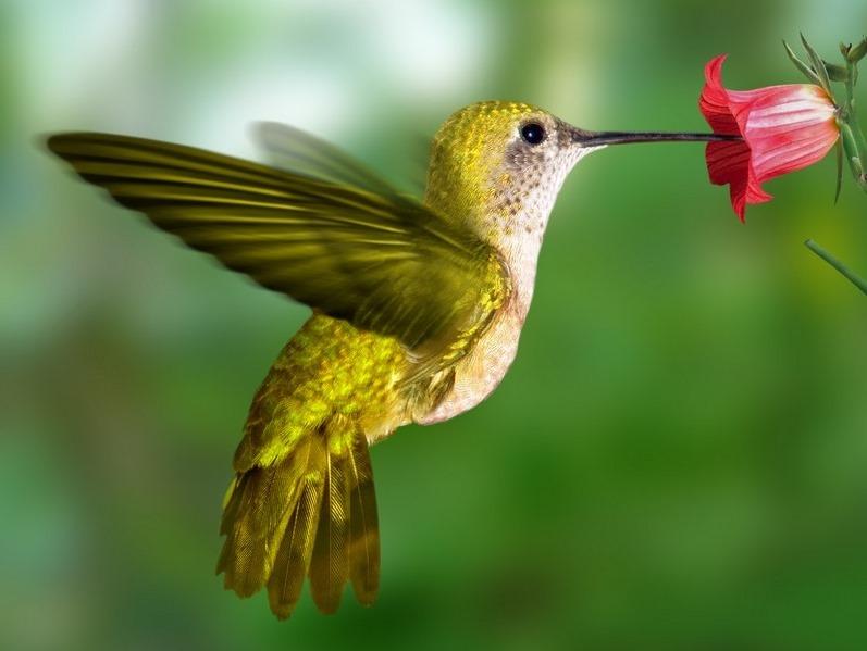 colibri-jaune.jpg