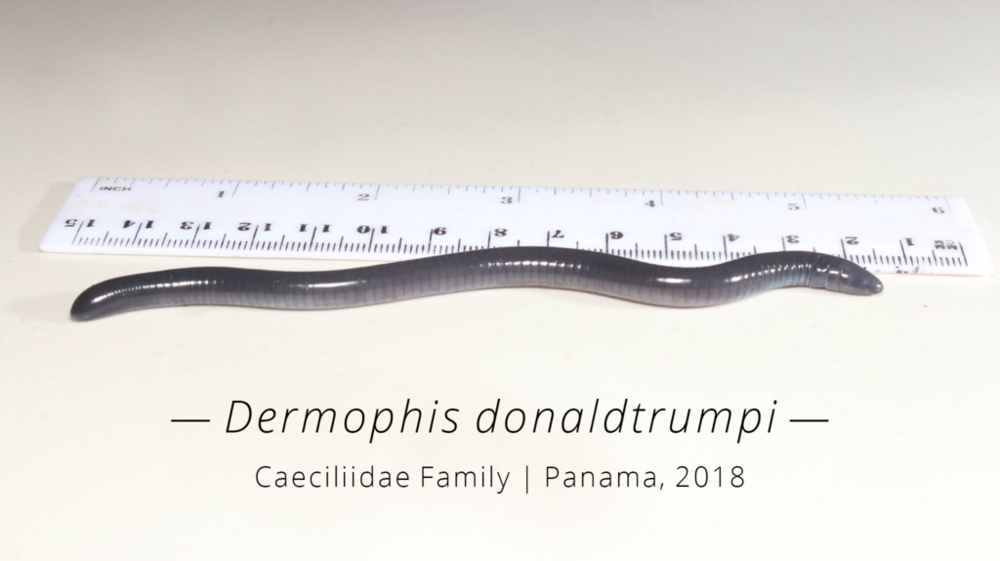 Photo_3_Dermophis_donaldtrumpi___Caeciliidae_Family___Panama_2018_big_text_1024x1024.png