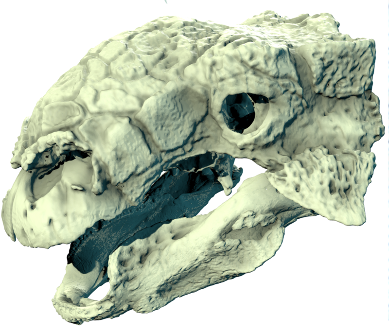 Euoplocephalus_skull_01.png
