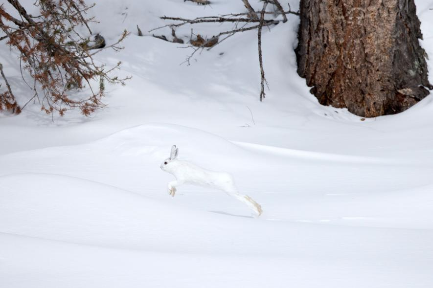 03-winter-white-animals-NationalGeographic_2190365.adapt_.885.1.jpg