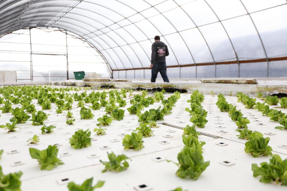 Lettuce is grown through a large hydroponics system at GrubTubs' farm near Buda.   Dustin Safranek/for the American-Statesman
