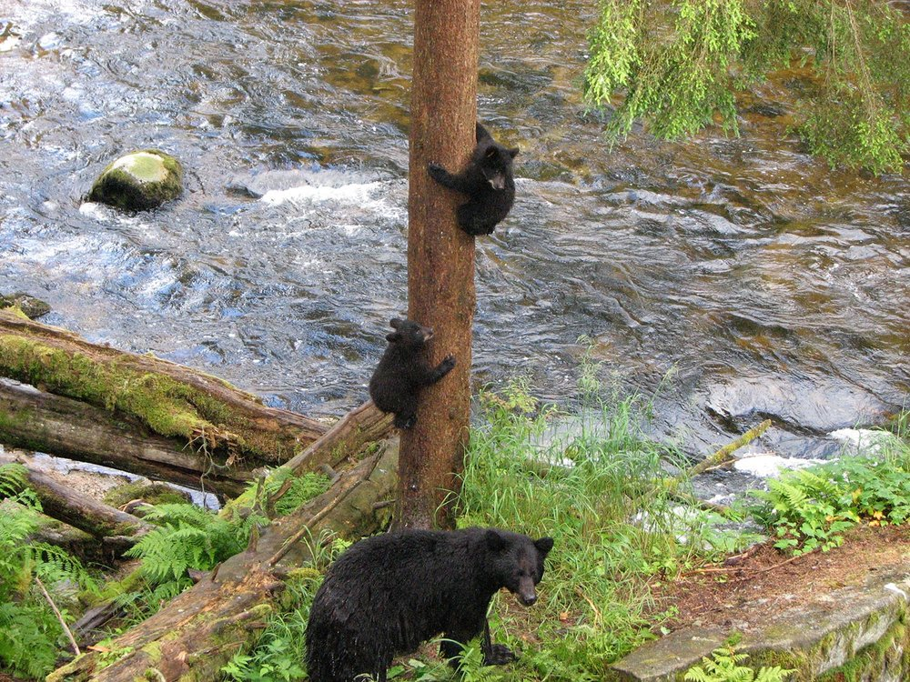 bear and cubs.jpg