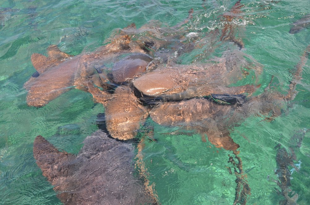 Hol Chan Marine Reserve: Shark Ray Alley...nurse sharks off the back of the yacht.
