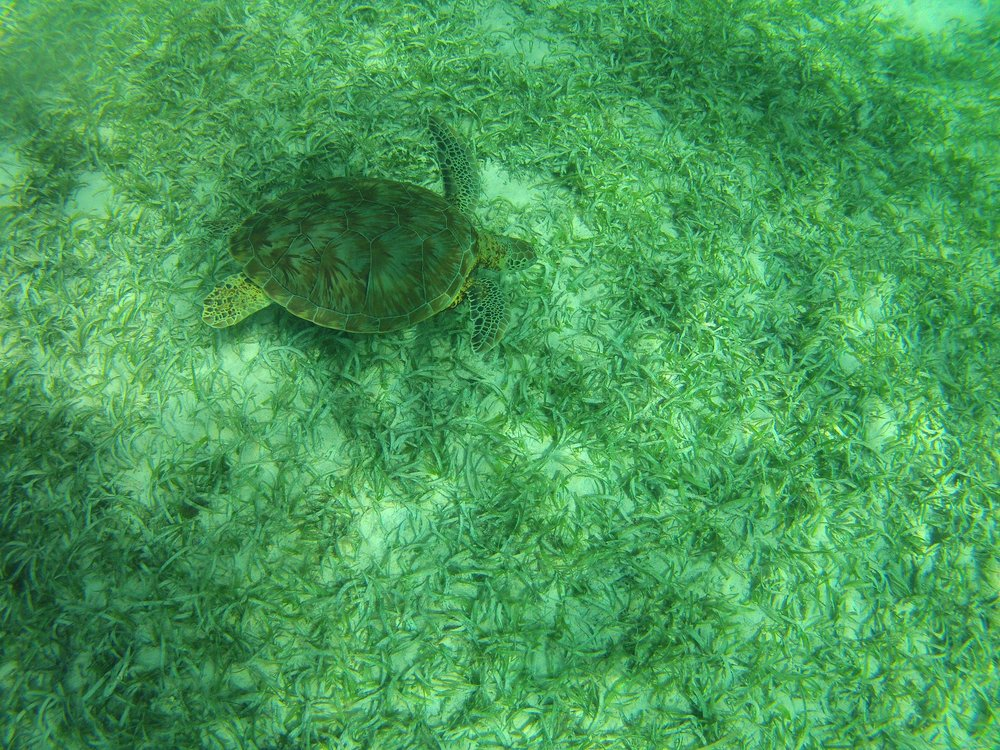 A turtle swimming along the sea grass in Hol Chan Marine Reserve.