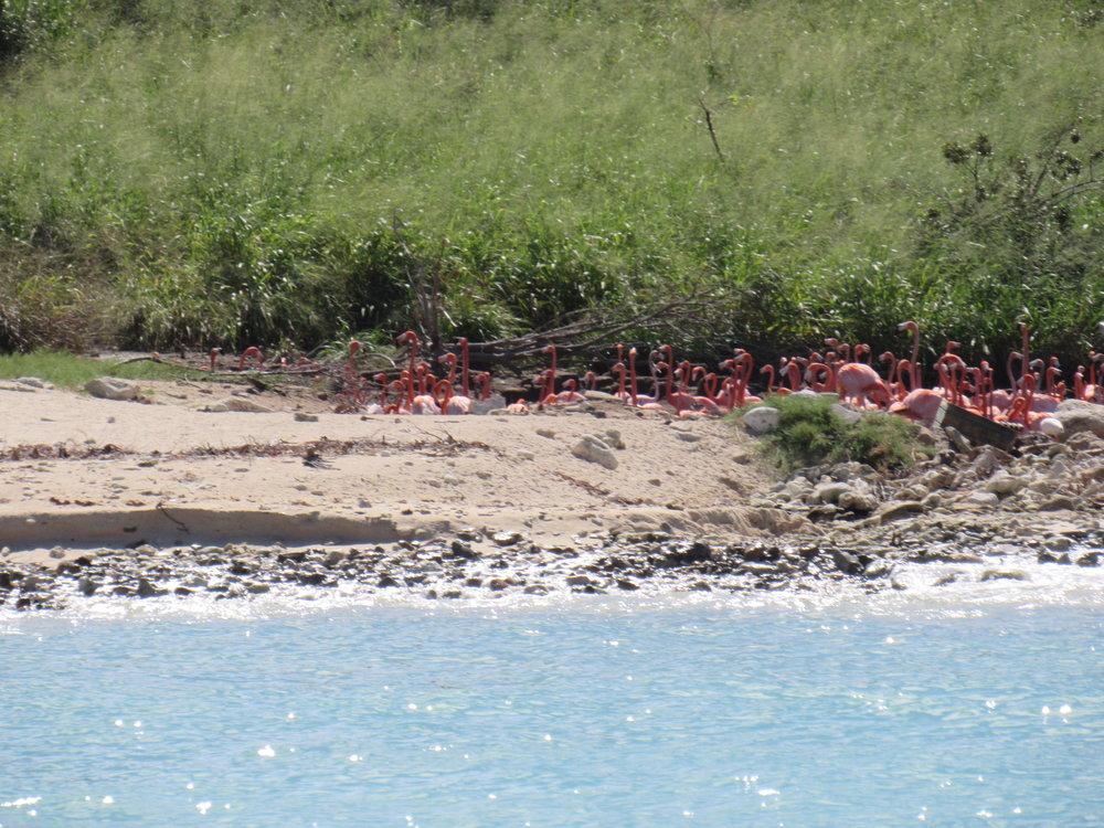 Pink Flamingos on Necker Island, BVI