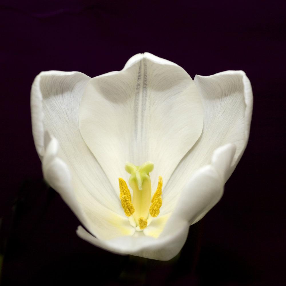 tulip-1370909-1920x1920.jpg
