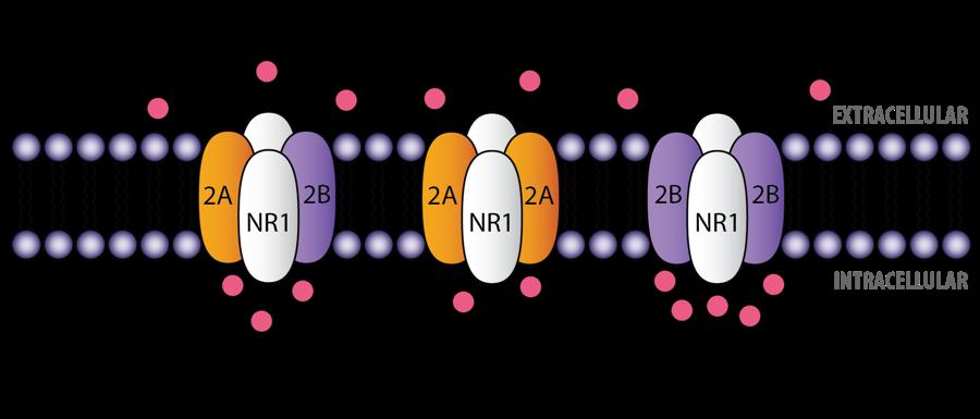NMDA_receptors.png