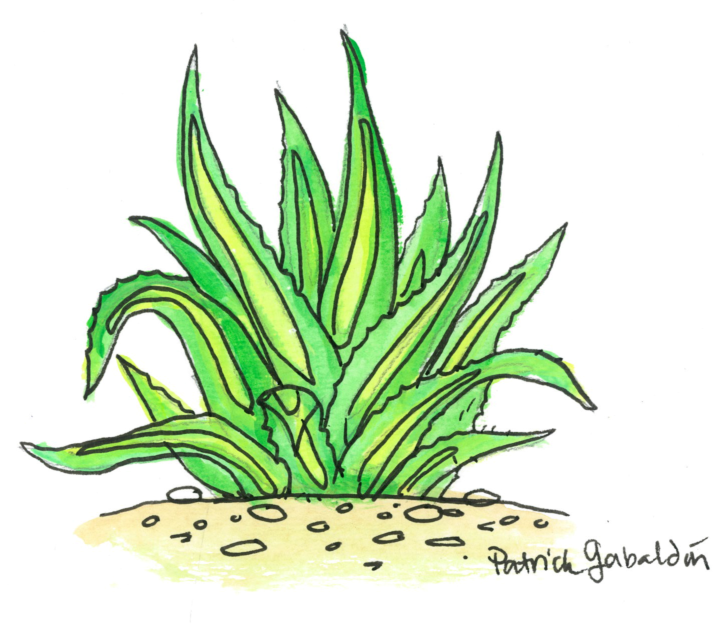 Green Agave.jpg