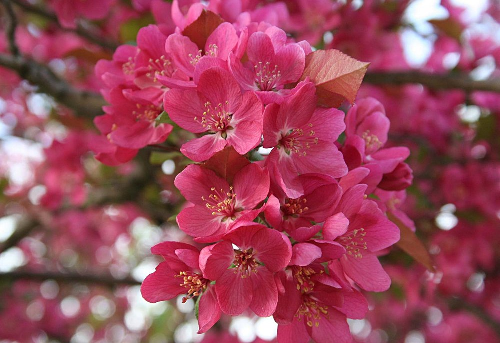 flor-de-cerezo.jpg