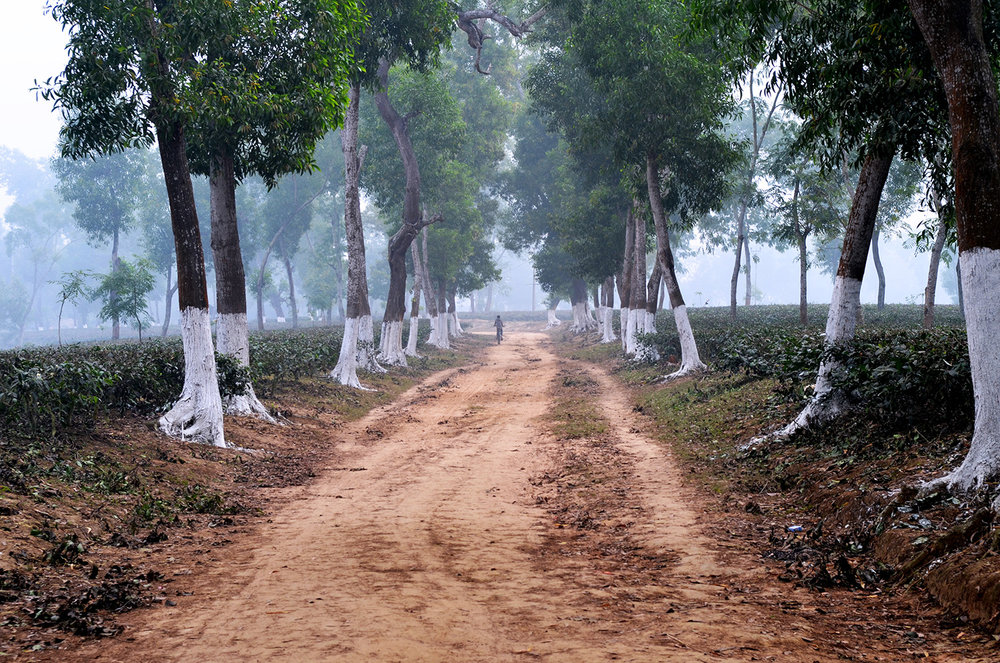 Trees in northern Bangladesh's tea gardens