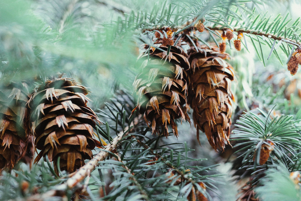 Pine Cones in Seattle Washington