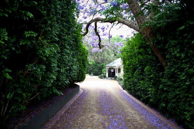 Jacaranda Canopy Entrance