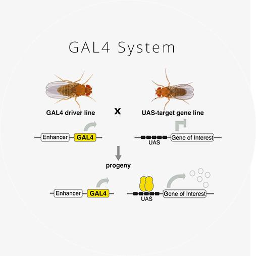 GAL 4.png