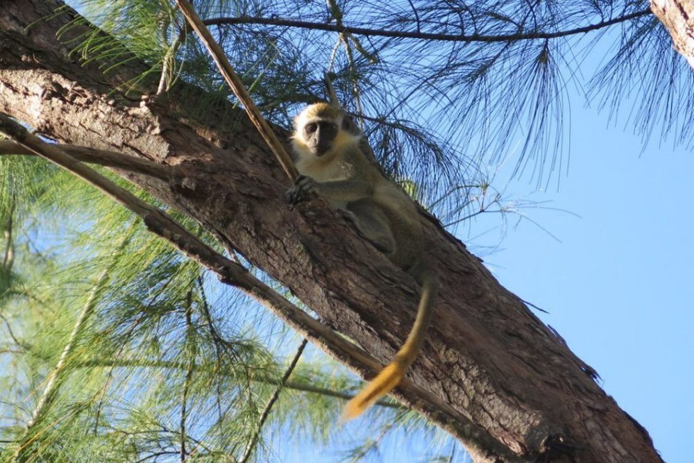 Barbados is famous for its curious green monkeys. You'll often find them on the island's wonderful golf courses.  JIM BYERS PHOTO