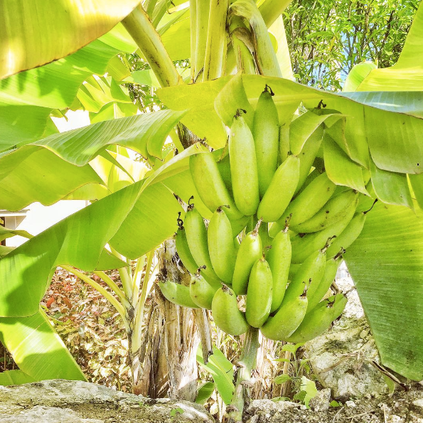 IMG_4-Barbados-Bananas-at-The-Crane-Hotel-by-Marissa-Bronfman-for-Notable.png