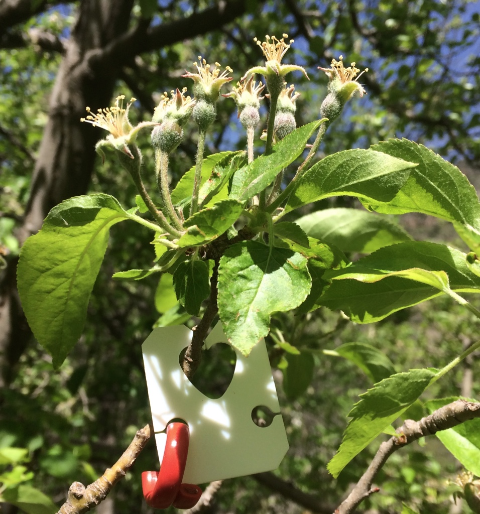 Pheromone dispenser hanging below developing apple fruits will hopefully distract male moths from finding females and give us wormless apples!