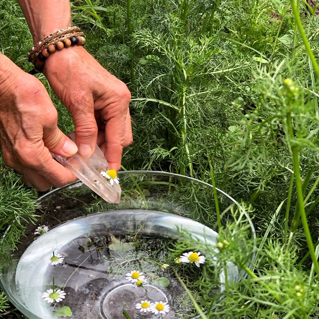 Making a chamomile flower essence in the garden