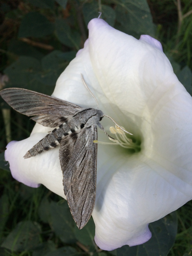 Sacred Datura and Sphinx Moth