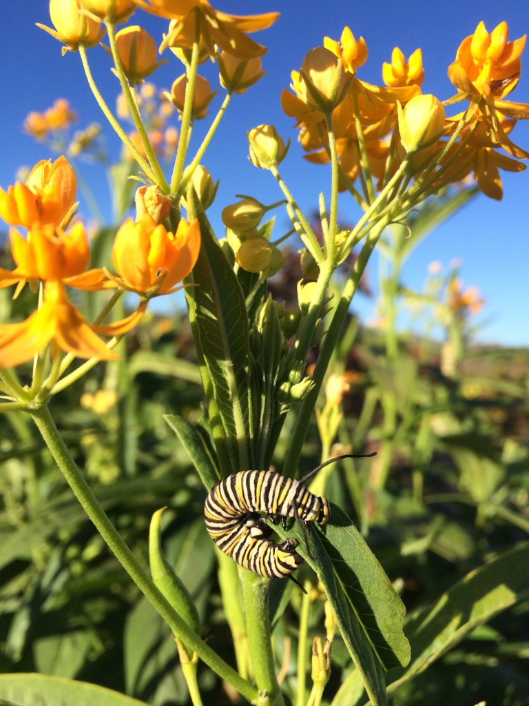 Monarch Butterfly Larva Feasting on Milkweed