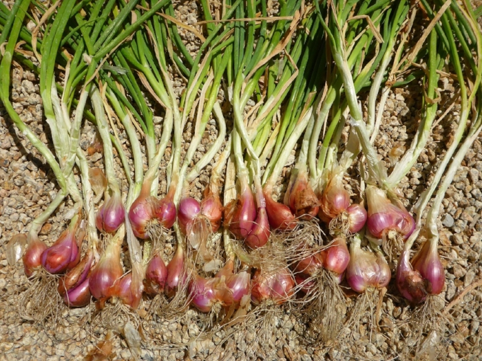 "This bronze onion may remind you of a mix between a green onion and a shallot, and is an ideal crop to plant in the Arizona soil. Why? Not only is the onion delicious, which makes it an attractive crop for consumers, but Farmer Frank says the hardy onion seems ""to require about a third less water than most, since they seldom get water more than twice a month here on the farm.  Source: Photo Via  Seed To Table ."