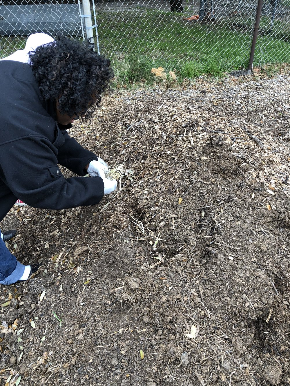 Planting onions and potatoes in a finished Hugel bed…