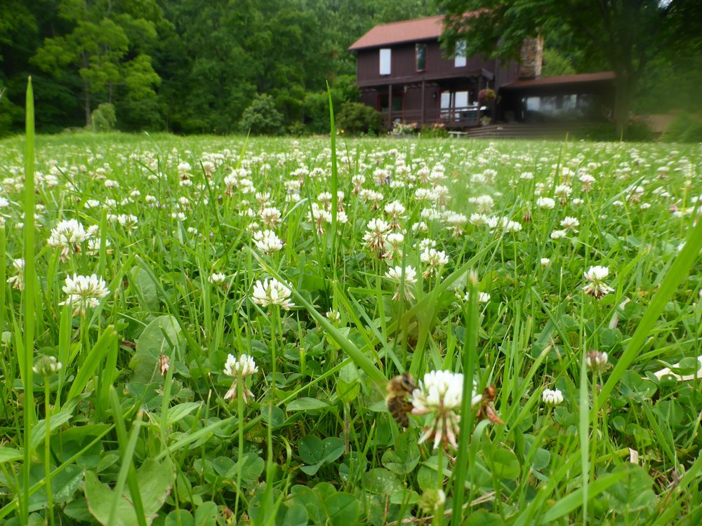 white clover in yard.jpg
