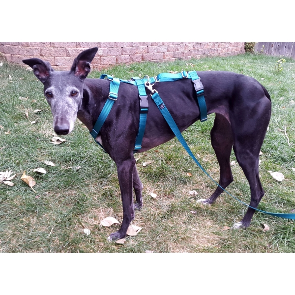 1harness greyhound cut safety harness colorado greyhound adoption