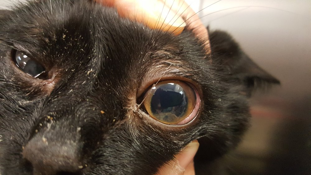 Intraocular fibrin clot on a cat #2