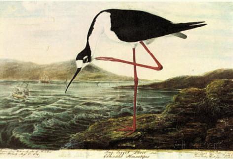 audubon-black-necked-stilt-bird-art-poster-print