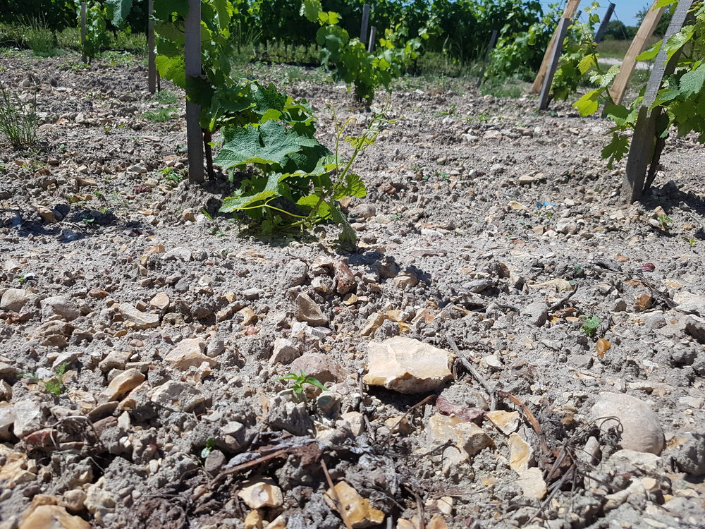 7 Our New vines in Silex terroir at Les Exivieres Bourre, 12 months old.jpg