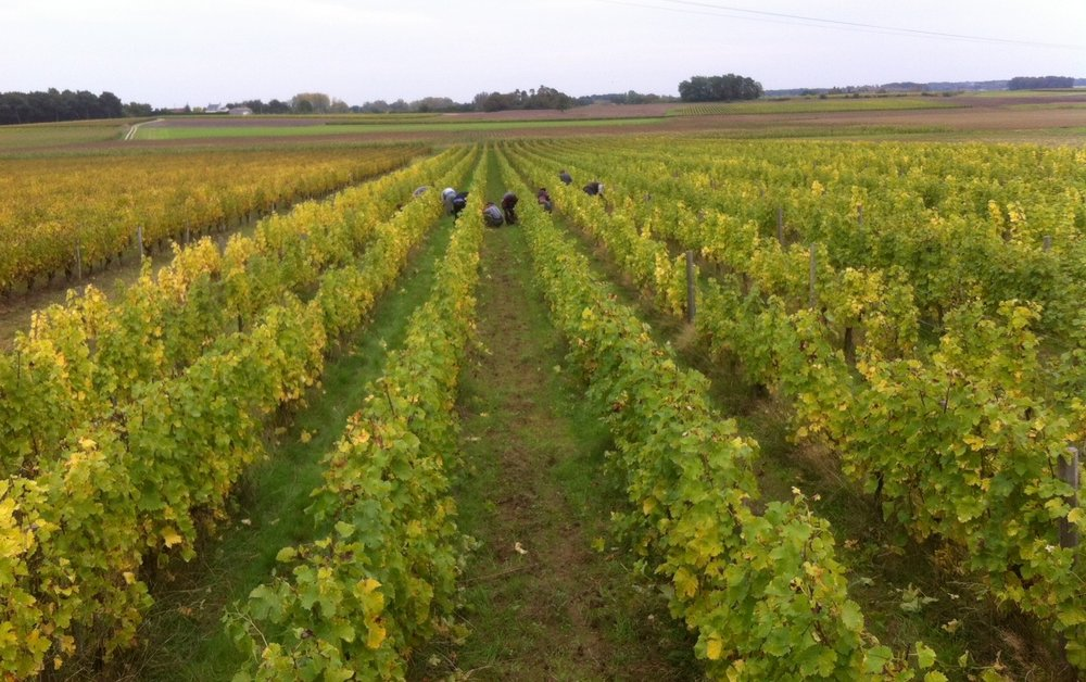 Vintage 2013 last picking 22 oct.jpg