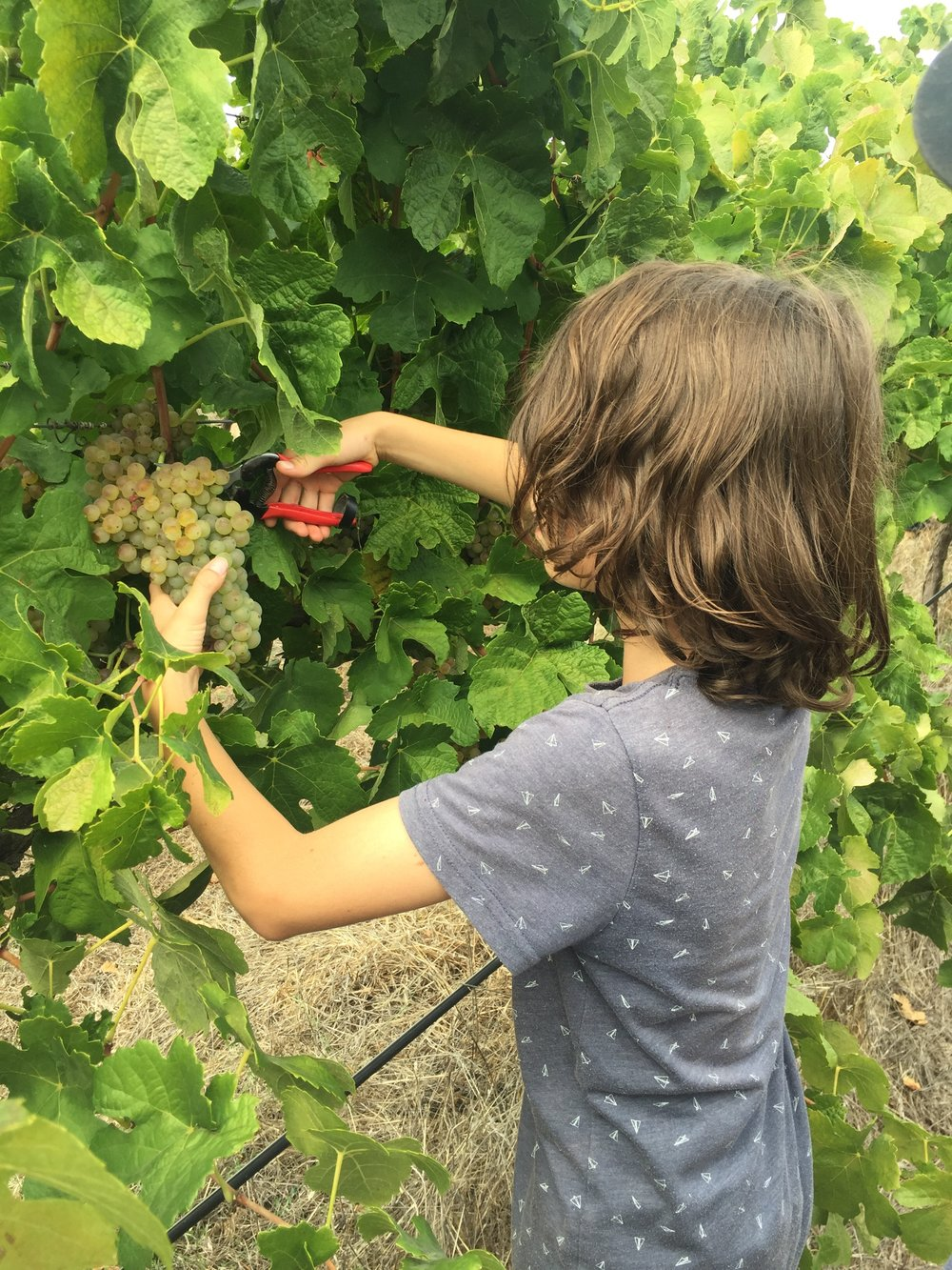 Family put to work in the vineyard