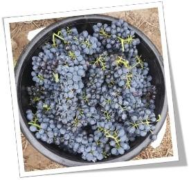 Handpicked Shiraz harvest