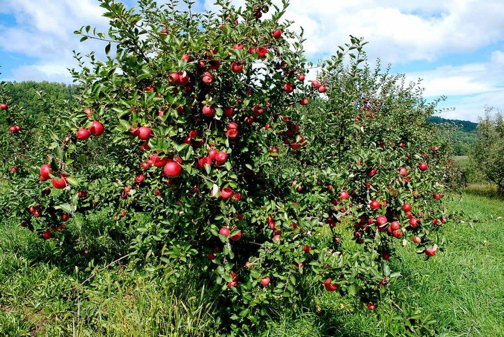 apple tree.jpg.1379727901617.jpg