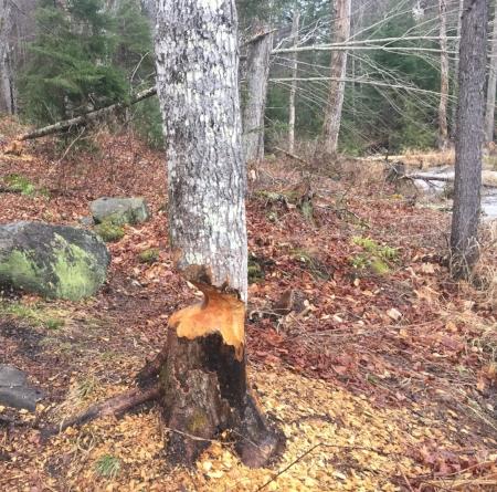 Impressive beaver work