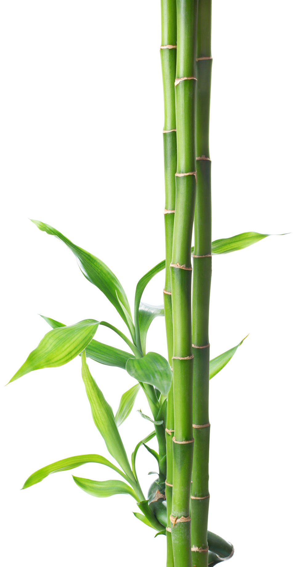 bamboo_cropped.jpg