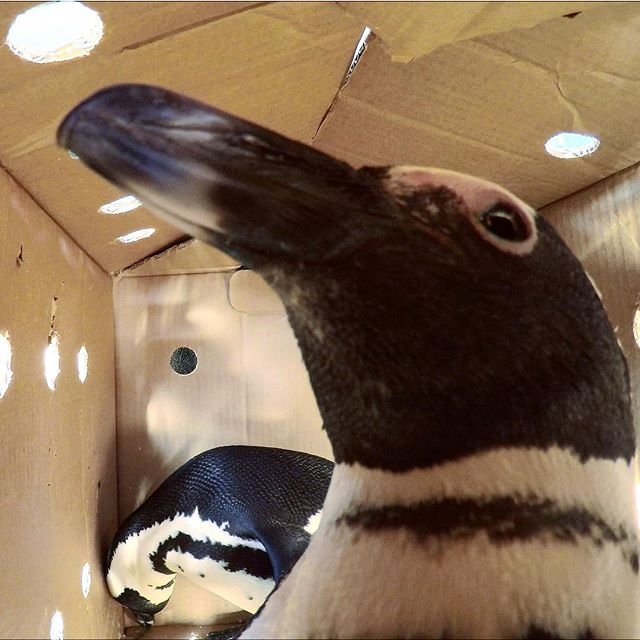 Penguin big brother for our latest documentary about the #africanpenguin #conservation #documentary #capetown