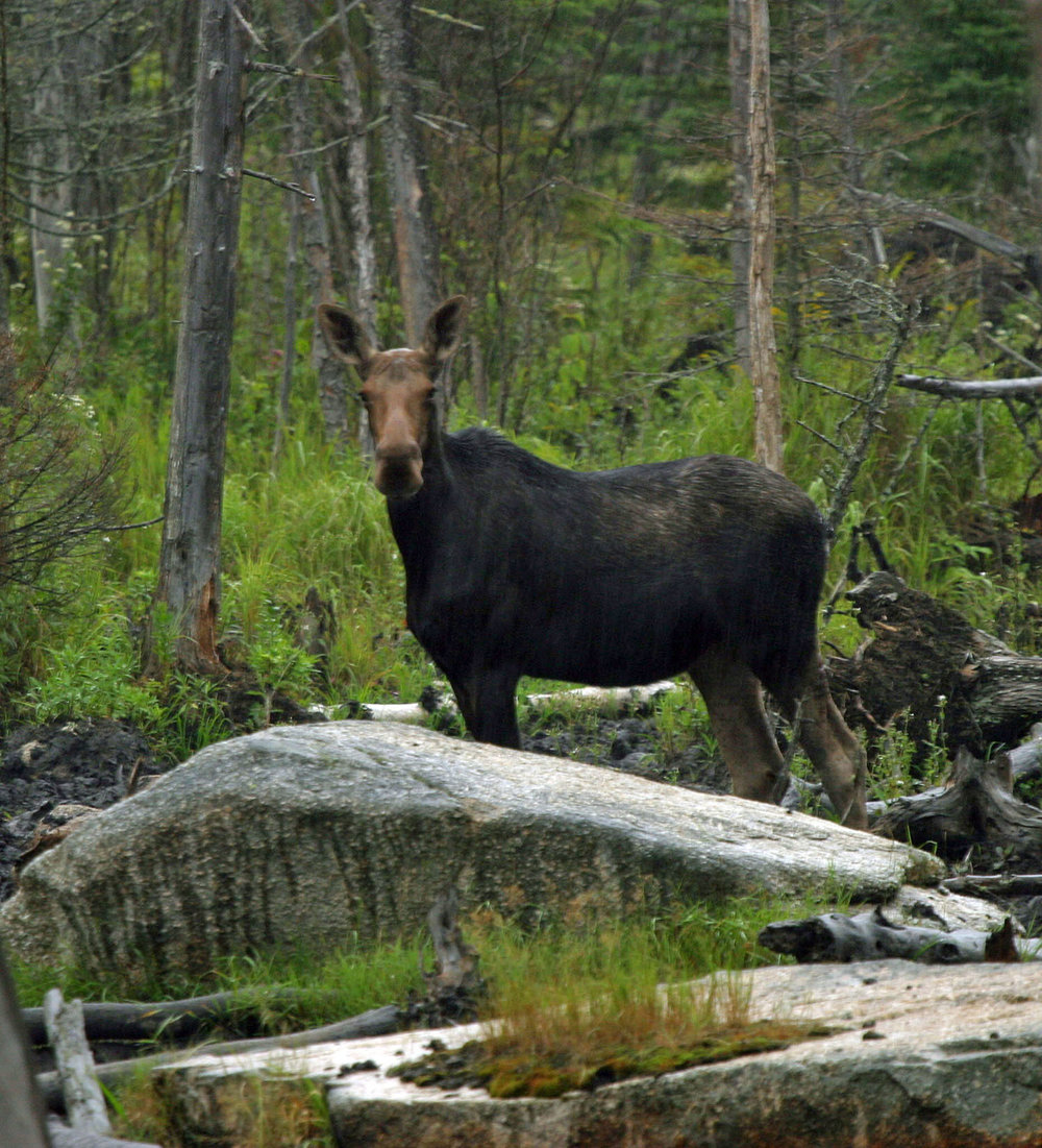 rangeley-lakes-moose-#2-copysm.jpg